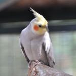 Nymphicus-hollandicus-papagali-nimfa-specii-pasari
