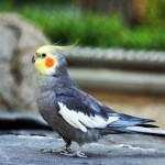 Nymphicus_hollandicus-papagali-nimfa-poze-specii-pasari