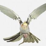 papagalul-nimfa-specii-pasari-in-zbor