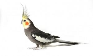 poze pasari papagali nimfa specii zooghid
