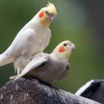 poze-pasari-papagali-nimfa-zooghid