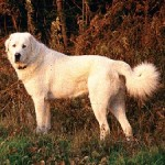 AKBASH_DOG_BREED