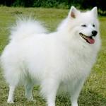 AMERICAN_ESKIMO_DOG