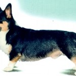 CARDIGAN_WELSH_CORGI