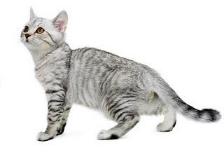Rase pisici - Burmila