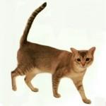 burmilla rasa de pisici 2