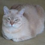 burmilla rasa de pisici 4