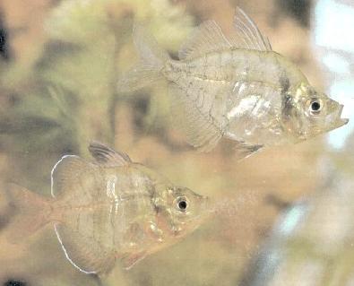 Animale de companie - Specii de Pesti - Ambasis Lala - Chanda Lala