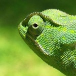Animale de companie - Reptile - Cameleonii 2