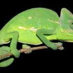 Animale de companie - Reptile - Cameleonii 3