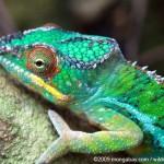 Animale de companie - Reptile - Cameleonul 1