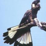 calyptorhynchus baudinii Papagali - Cacadu negru cu coada alba 1