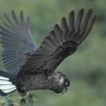 calyptorhynchus baudinii Papagali - Cacadu negru cu coada alba