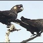 calyptorhynchus baudinii Papagali - Cacadu negru cu coada alba 5