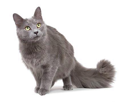 Animale de companie - Rase pisici - Pisica Nebelung