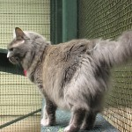 pisica nebelung rase de pisici 2