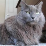 rase de pisici pisica nebelung