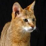 Pisica Chausie poze animale poze pisici 12