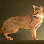 Pisica Chausie poze animale poze pisici