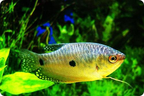 Specii de pesti - Trichogaster trichopterus