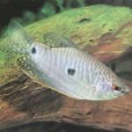 Trichogaster trichopterus specii pesti 3