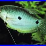 Trichogaster trichopterus specii pesti 4
