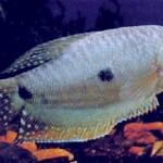Trichogaster trichopterus specii pesti 5