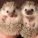 ariciul Pygmy Hedgehog poze animale