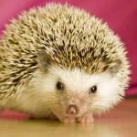 ariciul Pygmy Hedgehog poze animale 2
