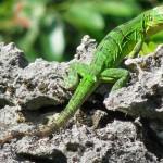 Animale de companie - Reptile - Iguana verde 1