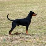 Pinscher german poze cu animale caini 1