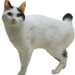 bobtail japonez poze cu animale pisica pisici japanese bobtail 1