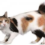 bobtail japonez poze cu animale pisica pisici japanese bobtail