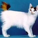 bobtail japonez poze cu animale pisici japanese bobtail pisica