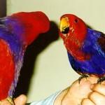 rase de papagali poze cu animale Eclectus Vosmaeri 1