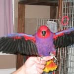 rase de papagali poze cu animale Eclectus Vosmaeri 3